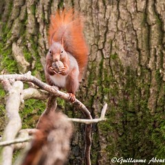 cureuil roux (Guillaume About) Tags: canon squirrel cureuil