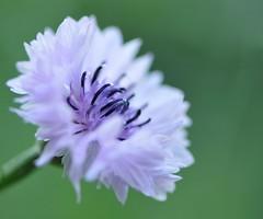 una nuvola... (andrea.zanaboni) Tags: cloud white flower macro colors nikon nuvola fiore colori bianco leggero