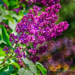 Lilak (kinga.lubawa) Tags: flowers flower colors canon spring sensual kwiaty kwiat sonnar kolory kolorowe soneczny sonecznie canon6d