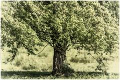 Weidorn, Crataegus monogyna - Umschlungen (Pana53) Tags: flora nikon outdoor pflanze feld wiese baum zweige blten stamm crataegusmonogyna naturfotografie naturfoto weisdorn pana53 naturundlandschaftsfotografie photographedbypana53 nikond7200 sigmas150600mm