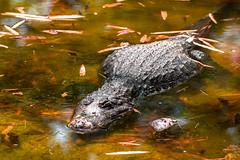 Un crocodile ne sait pas comment tre autre chose. (- Ali Rankouhi) Tags: park wild india zoo march bangalore national crocodile bannerghatta 2016