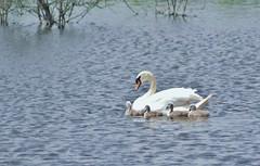 New family at Flagg creek (Kay Musk) Tags: wild nature swan wildlife essex cygnusolor nikond3200 flaggcreek