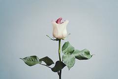 A flor de piel (ngela Burn) Tags: blue white leaves rose tongue mouth cyan surreal lips slurp