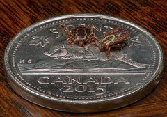 If I had a nickel for every tick... (Rodger_Evans) Tags: macromondays smallerthanacoin