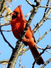 Cardinal, Cardinalis cardinalis, Male (3) (Herman Giethoorn) Tags: red cardinal