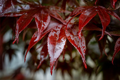 5/22/16 Weeping Maple (Karol A Olson) Tags: wet leaves rain dreary japanesemaple soggy damp foul depressing may16 116picturesin2016 project3662016 111somethingthatmakesyoucry 23of27rainydayssincelateapril idonotliveinseattle