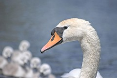 Swan Head (mnika4) Tags: orange white black colour bird eye water animal swan pond splash cygnets