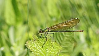 Banded Demoiselle - Female