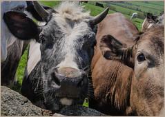 P1040851-1 - Whiskers! (dangle earrings) Tags: eyes horns ears whiskers bullocks dangleearings lumixpanasonicdmcgx8