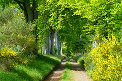 Farm track. (artanglerPD) Tags: trees greenleaves sun track farm shade bushes broom beech cowsudny