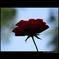 My rose for M ... (juntos ( MOSTLY OFF)) Tags: life flowers music love me rose pessoa artist saudade mother may bruxelles mamma manuela blueribbon oa blackrose musictomyeyes bellissima lavieenrose thegoldengallery theperfectpicture reallybeautiful sailthesevenseas imagepoetry flickrsbest soc1 mywinners infinestyle finestnature heartsaward flickrshearts overtheexcellence everydayisunday peaceawards thirdlife spiritofphotography artofimages saariysqualitypictures saarysqualitypictures focusonbeauty perceptiongroup imagesforthelittleprince firstofall richardgroup 3mroyalflowers wowbrilliant mammasbloomer guardiansoftime asquarelegend speakinglove exhibitonoftalent richardsfloranfauna 4mphotograficdream