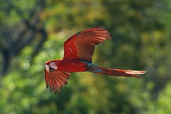 Red-and-green Macaw (Ara chloroptera) (PeterQQ2009) Tags: brazil birds redandgreenmacaw arachloroptera