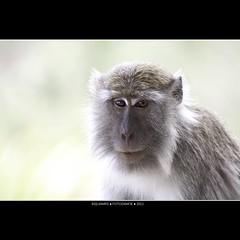 Malaysia: Monkey business - Mister two eyes (Bas Lammers) Tags: canon nose nationalpark jungle sarawak malaysia borneo 100400mm kuching bako mygearandme macaquesmonkey