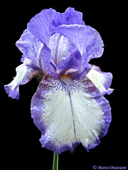 "Iris ""Dancer's Veil"" - [Explore - Nov. 25 , 2011] (Marco Ottaviani on/off) Tags: flowers iris white nature colors canon garden violet natura fiori 1001nights botany viola colori bianco botanica giardino iridaceae mimamorflowers panoramafotogrfico bestcapturesaoi allegrisinasceosidiventa 1001nightsmagiccity marcoottaviani ringexcellence dblringexcellence"