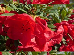 . (Tasmin_Bahia) Tags: flowers red sunlight flower green leaves petals pretty cluster warmth sunny
