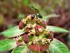 Shrub: Verde, Morada, y Rosada (JApplequist) Tags: naturaleza verde green nature wasp shrub rosada avispa arbusto reddishpurple