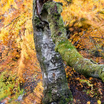 Golden-Birch