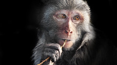Rhesus Monkey (GT Photo) Tags: portrait face monkey asia longleat primate rhesusmonkey warminster rhesusmacaque nikond90