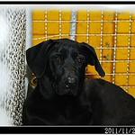 『南寮收容所』1127、母帶子、拉拉、米格魯、哈士奇、秋田、雪那瑞、約克夏、高山犬、似黑貴賓、米克斯、波斯、貓、20111128 thumbnail