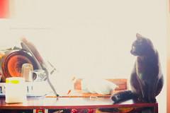 black kitty in orange kitchen (MaxiKohan) Tags: pet kitchen animal cat photo kitty gato fotografia mascota maxikohan kohanart
