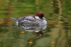 Duck (jeremyjonkman) Tags: seattle canon photography duck mark jeremy ii 5d 400mm jonkman l56 washingtoneos