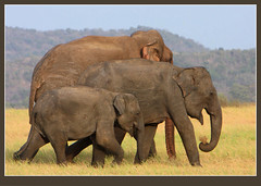 Big, bigger, huge. (Rainbirder) Tags: srilanka asianelephant elephasmaximus elephasmaximusmaximus srilankanelephant rainbirder minneriyawewa