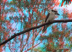Kooky in the Tree (ProLithic 3D) Tags: life blue red wild bird bike fauna laughing glasses stereoscopic 3d king native wildlife australian cyan australia anaglyph racing cc motorbike stereo r 600 kingfisher fisher species suzuki aussie gsx kookaburra racer roadbike gsxr separation roadster mtorcycle 600cc interocular