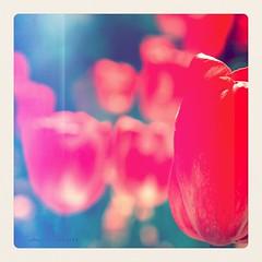 ~ the orange tulip ~ ('ndre) Tags: orange flower nature beauty nikon flickr dof bokeh pastel australia tulip dreamy canberra nikkor boke 105mm d300s