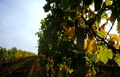 Herbststimmung im Weinberg, NGID202523720 (naturgucker.de) Tags: burgenland sterreich naturguckerde charaldvorberg utm2533t06255275 ngid202523720