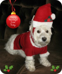 "12/12A ~ Riley ~ ""Santa Claus Is Coming To Town"" (ellenc995) Tags: riley westie westhighlandwhiteterrier 12monthsfordogs christmas holiday december coth supershot naturallywonderful rubyphotographer citrit 100commentgroup pet100 yearofholidays thegalaxy pet3000 pet500 pet1000 pet1500 pet2000"