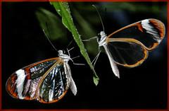 WE MEET AGAIN (ninja nan1) Tags: uk two england bristol spectacular leaf wings nikon butterflies translucent transparent multi flickraward d300s