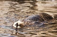 Sea Otter (j.knor jr.) Tags: california aquarium monterey october pentax montereybayaquarium otter 2011 k100d