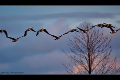 All Together Now. (Jeff S. PhotoArt) Tags: sunset ontario canada nature geese collingwood wasaga georgianbay canadian milleniumpark connected shipyard wasagabeach bluemountain ontariocanada collingwoodontario nottawasagabay collingwoodharbour collingwoodpier btrbp btrbpc