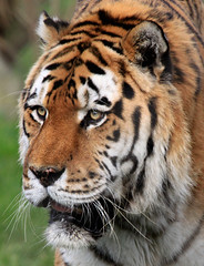 Amur Tiger (TenPinPhil) Tags: cat zoo wildlife marwell bigcats marwellzoo 2011 canon500d fantasticnature philipharris flickrbigcats tenpinphil