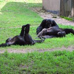 "Chimps Stretching <a style=""margin-left:10px; font-size:0.8em;"" href=""http://www.flickr.com/photos/14315427@N00/6505465739/"" target=""_blank"">@flickr</a>"