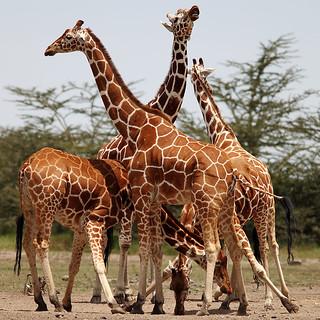 Giraffe Huddle