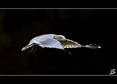 Gull in Mid-Air (Jeff S. PhotoArt) Tags: ontario canada nature up collingwood close wasaga gull georgianbay milleniumpark shipyard wasagabeach bluemountain ontariocanada collingwoodontario nottawasagabay collingwoodharbour collingwoodpier btrbp btrbpc