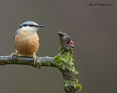 Nuthatch in rain (Stuart G Wright Photography) Tags: bird birds g wildlife stuart explore cannock chase wright nuthatch staffs