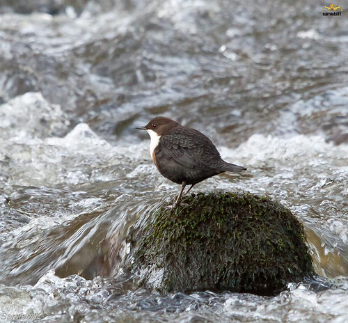 Dipper in the River Leven
