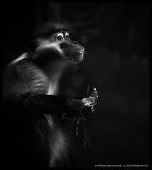 Red-capped Mangabey_Philadelphia Zoo (MDunckley) Tags: blackandwhite nature animal mammal wildlife primate blackandwhitephotography philadelphiazoo zoolife philadelphiapennsylvania redcappedmangabey nikon85mmf14d zoosofnorthamerica nikonflickraward nikoncapturenx2 nikond7000 mdunckley mikedunckley