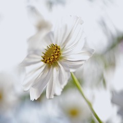 cosmos-ology (BigMs.Take) Tags: flowers winter white nature yellow gardens nikon dof bokeh seasonal squareformat annual pollen bangladesh cosmos d700 excellent flickrfriends