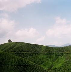 Tea farm (Ifitis) Tags: light green 120 film grass leaves mediumformat southeastasia kodak tl 400 malaysia pentacon six portra vc p6 cameronhighland pentaconsix czj teafarm