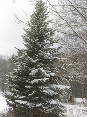 Free Christmas Tree - cut and carry (ems18) Tags: winter december maine sangerville eastsangerville