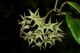 Hoya telosmoides