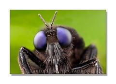 Mallophora sp. ? (Sebastin Padrn) Tags: mountains macro fly ecuador andes robberfly mosca padrn montaas biodiversity sebastin asilidae biodiversidad stacker azuay guachapalla httpwwwsebastianpadroncom