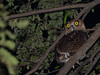 Philippine Eagle-Owl (Bubo philippensis) (Bram Demeulemeester - Birdguiding Philippines) Tags: philippineeagleowl bubophilippensis bramdemeulemeester birdguidingphilippines philippinesbirdingtours
