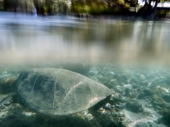 Between worlds 2012/2/1 (Jen R) Tags: honu cheloniamydas greenturtle puako betweenworlds