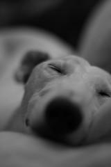 Schlaf Gut (Pamela Graham) Tags: portrait blackandwhite bw dog pet greyhound cute dogs woof animal gut sleep dream fluffy whippet couch perro sleepy hund lazy dreams perros schlafen pooch hunde lurcher schlaf