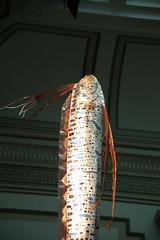 oarfish - detail (Tim Evanson) Tags: washingtondc museumofnaturalhistory oarfish smithsonianinstitution