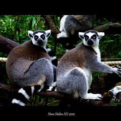 Lemurs (nora2810) Tags: cute nature animal lemur monyet binatang fujifilmfinepixs9500